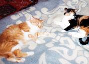 Мои кошки. Рыжка II и Пестрик